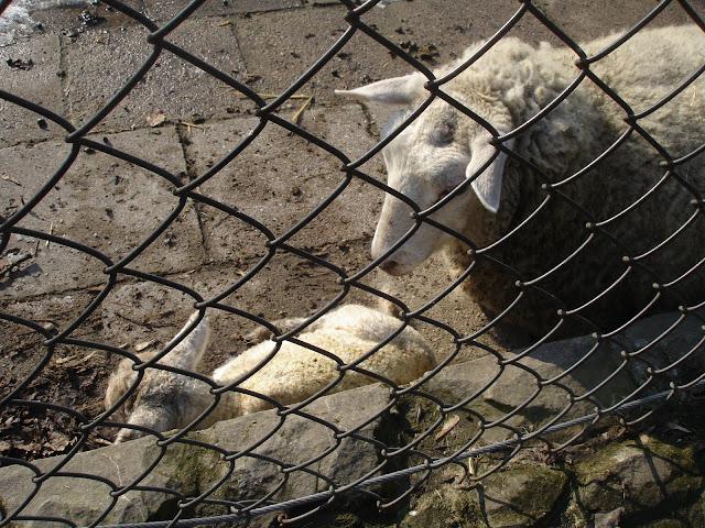 Młoda owca z mamą
