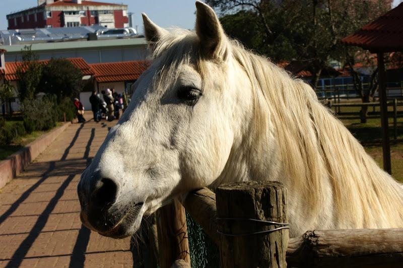 O cavalo
