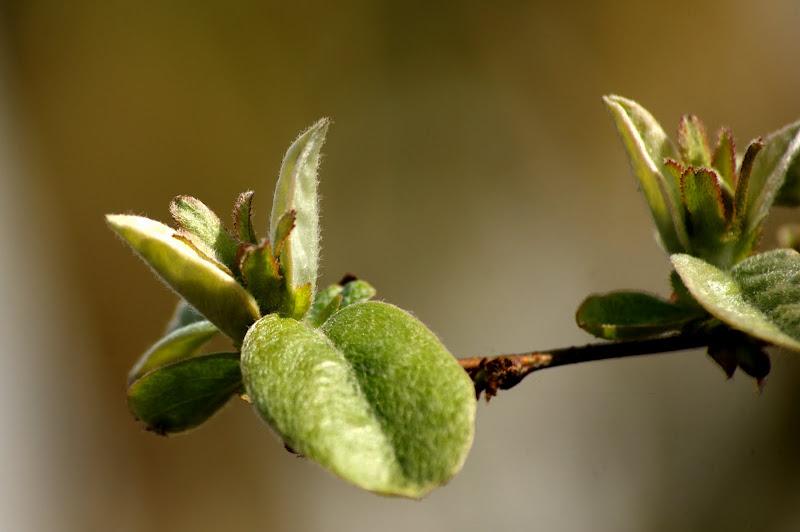 Marmeleiro, renascer na Primavera