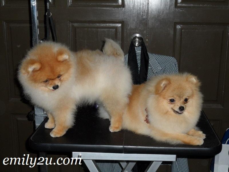 pomeranians dogs