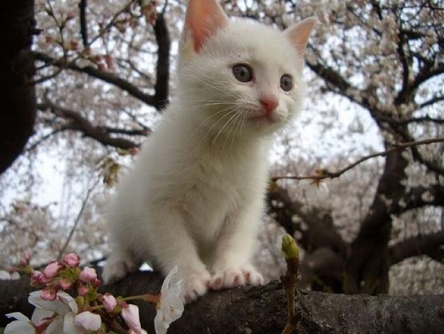Кошки, коты и цветущие вишни...