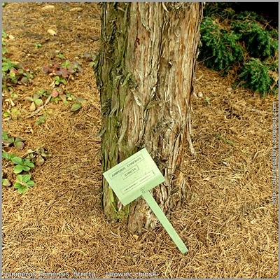 Juniperus chinensis 'Stricta' - Jałowiec chiński
