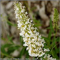 Buddleja davidii 'White Bouquet' - Budleja Dawida 'White Bouquet'
