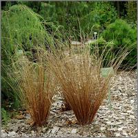Carex buchananii - Turzyca Buchanana