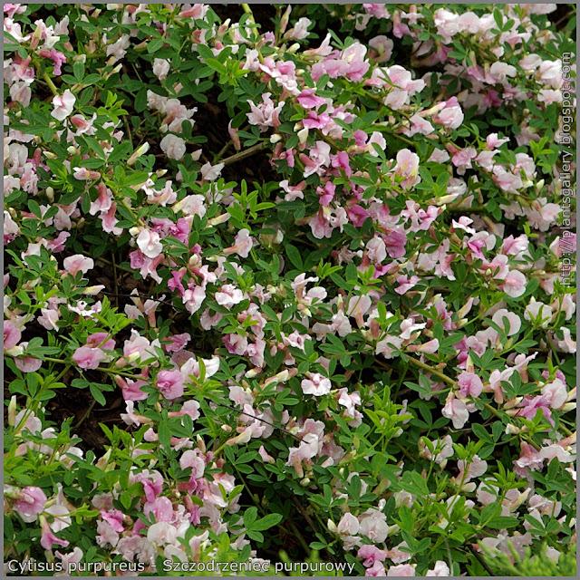 Cytisus purpureus - Szczodrzeniec purpurowy