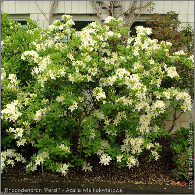 Rhododendron 'Persil' - Azalia wielkokwiatowa 'Persil'
