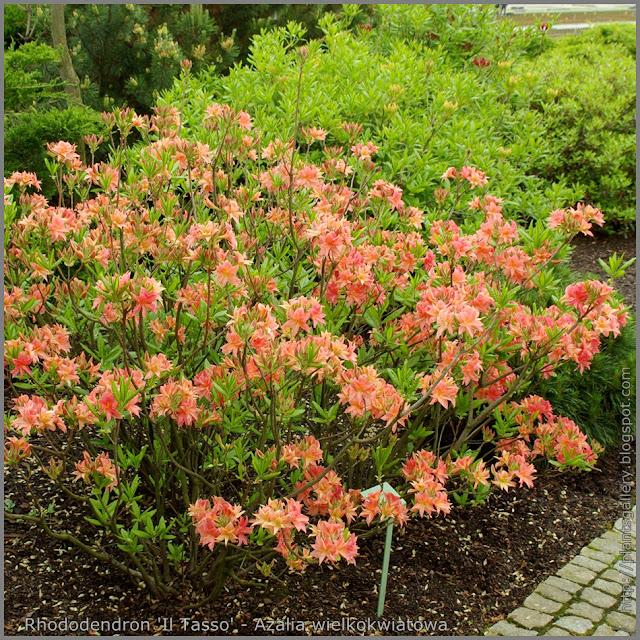 Rhododendron 'Il Tasso' - Azalia wielkokwiatowa 'Il Tasso'