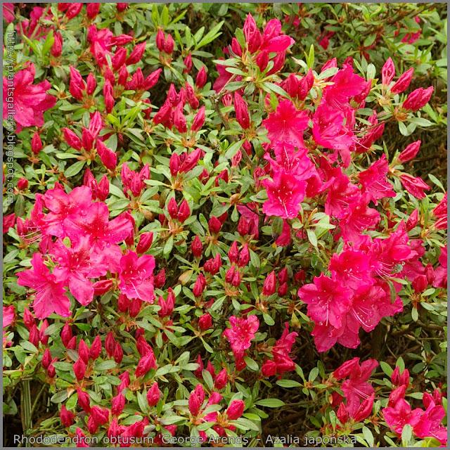 Rhododendron obtusum 'George Arends' - Azalia japońska 'George Arends'