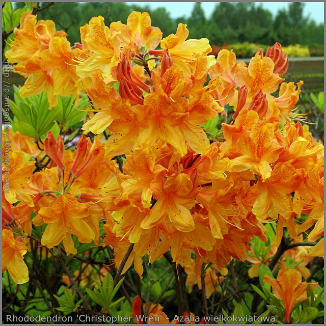 plant gallery encyklopedia ro lin rhododendron. Black Bedroom Furniture Sets. Home Design Ideas