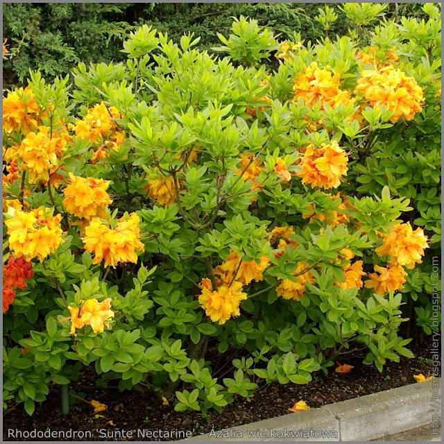Rhododendron 'Sunte Nectarine' - Azalia wielkokwiatowa 'Sunte Nectarine'