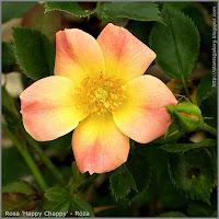 Rosa 'Happy Chappy' - Róża 'Happy Chappy'