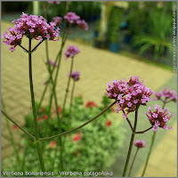 Verbena bonariensis - Werbena patagońska