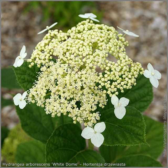 Hydrangea arborescens 'White Dome'flower - Hortensja drzewiasta 'White Dome' kwiaty