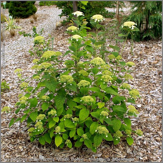 Hydrangea arborescens 'White Dome' - Hortensja drzewiasta 'White Dome' pokrój