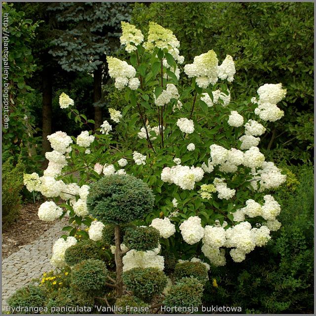 Hydrangea paniculata 'Vanille Fraise' syn. Hydrangea paniculata 'Renhy' - Hortensja bukietowa