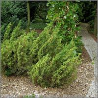 Juniperus chinensis 'Plumosa Aureovariegata' - Jałowiec chiński 'Plumosa Aureovariegata'