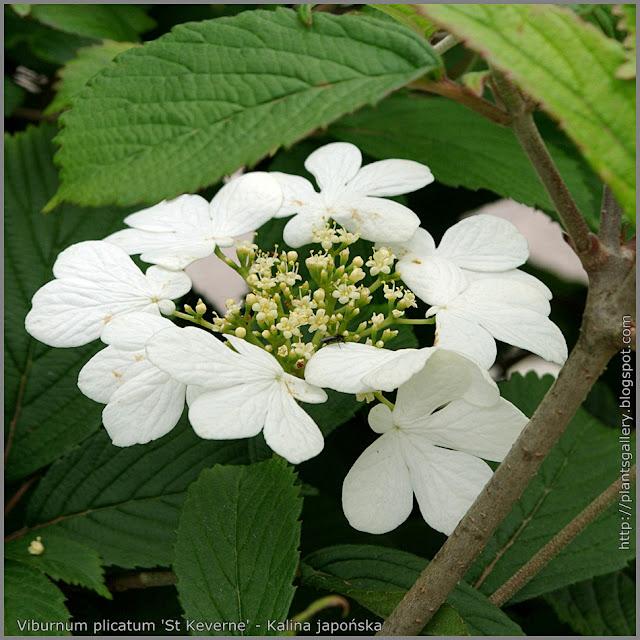Viburnum plicatum 'St Keverne' flower - Kalina japońska 'St Keverne' kwiaty