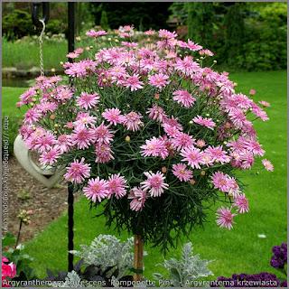 Argyranthemum frutescens 'Pomponette Pink' - Argyrantema krzewiasta 'Pomponette Pink'