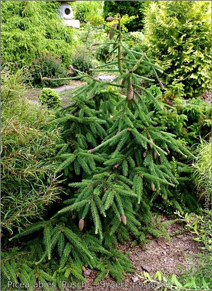 Picea abies 'Pusch' - Świerk pospolity 'Pusch'