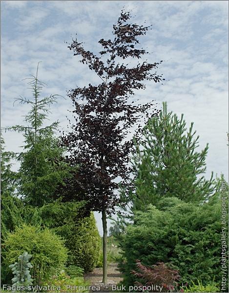 Fagus sylvatica 'Purpurea' - Buk pospolity