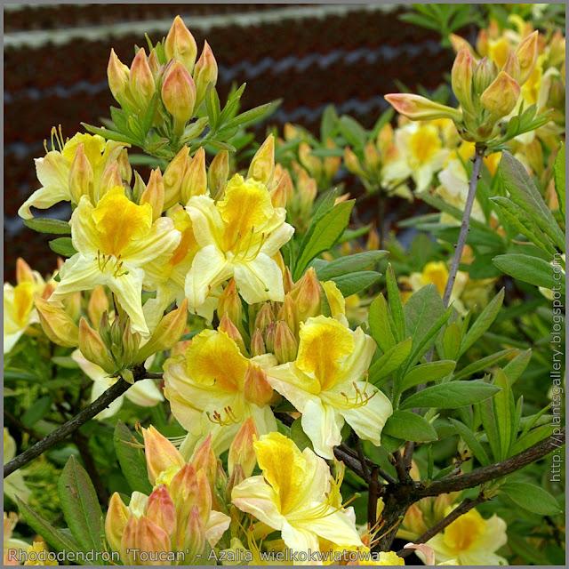 Rhododendron 'Toucan' - Azalia wielkokwiatowa 'Toucan'