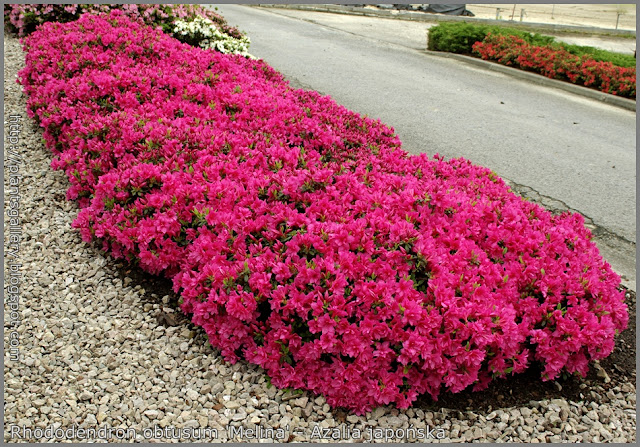 Rhododendron obtusum 'Melina' - Azalia japońska 'Melina'