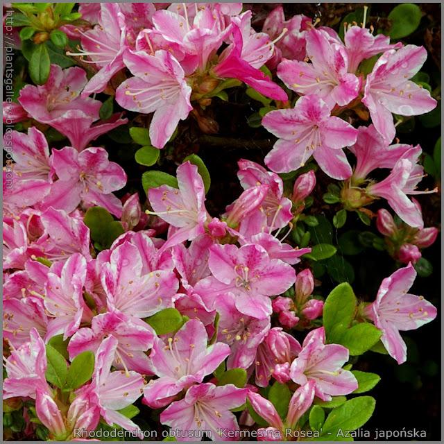 Rhododendron obtusum 'Kermesina Rosea' - Azalia japońska 'Kermesina Rosea'