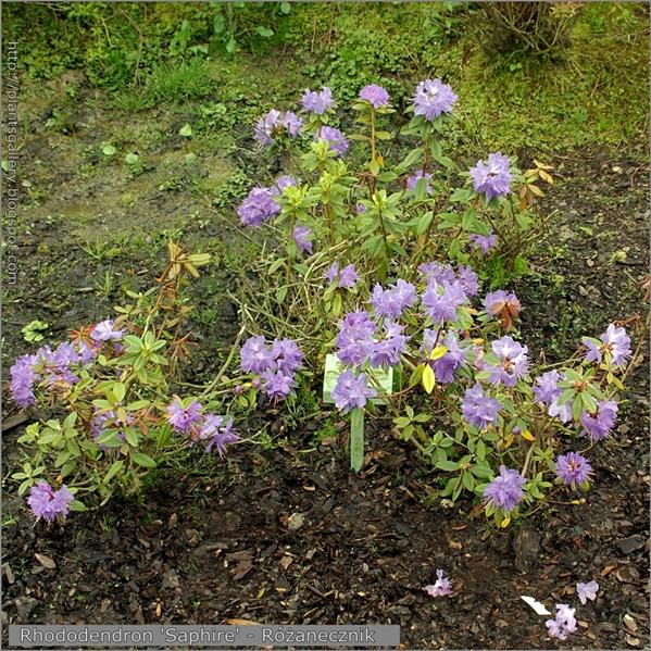 Rhododendron 'Saphire' - Różanecznik 'Saphire'