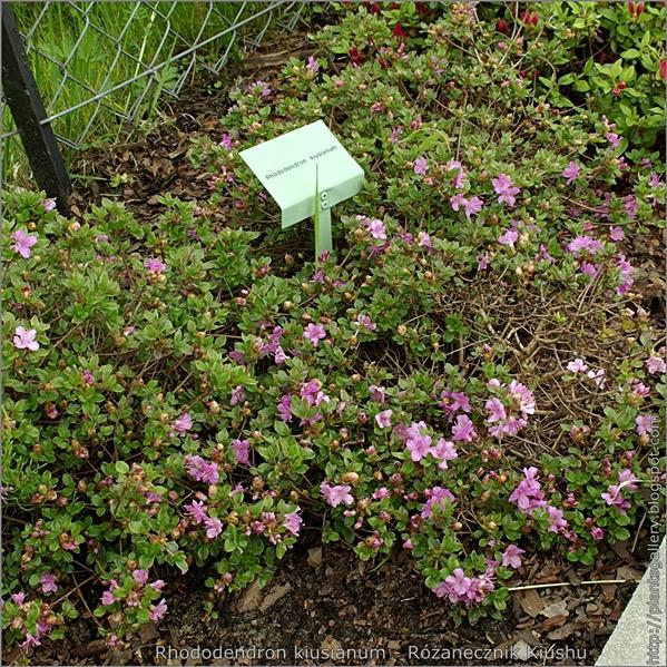 Rhododendron kiusianum - Różanecznik Kiushu