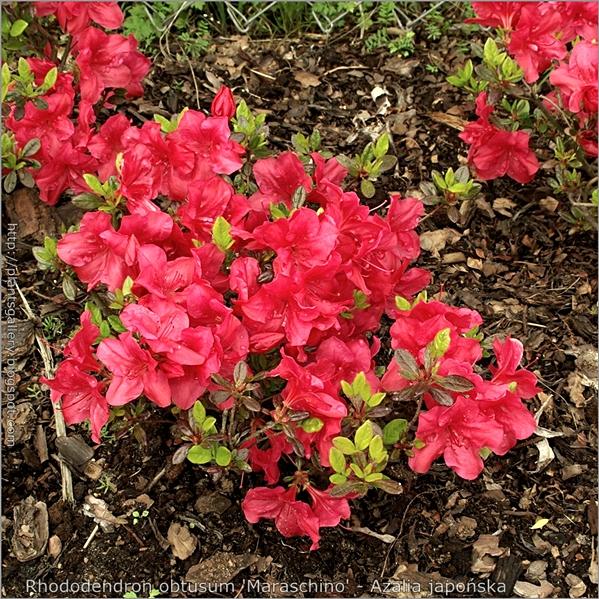 Rhododendron obtusum 'Maraschino' - Azalia japońska 'Maraschino'