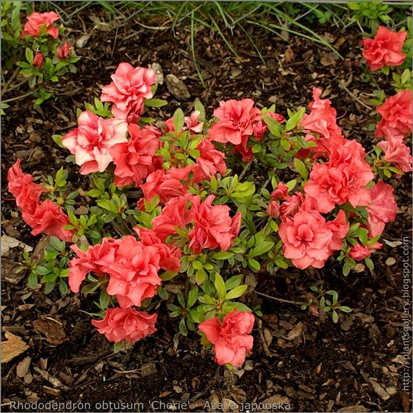 Rhododendron obtusum 'Cherie' - Azalia japońska 'Cherie'