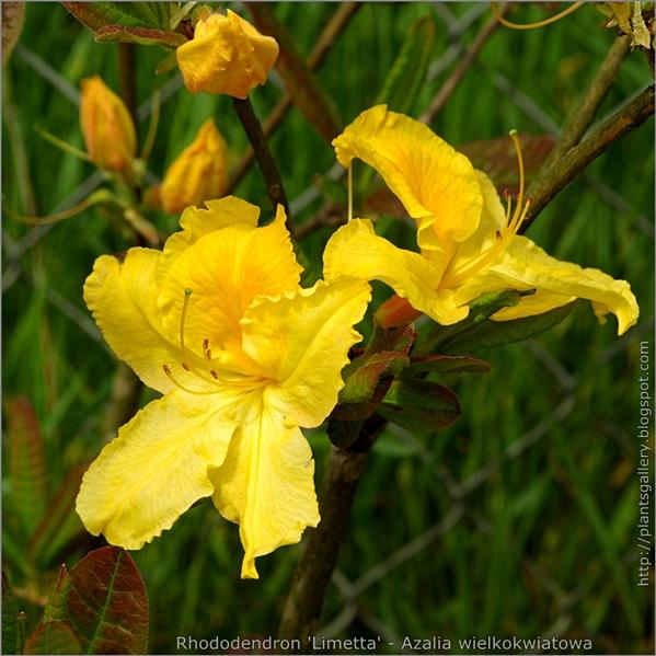 Rhododendron 'Limetta' - Azalia wielkokwiatowa 'Limetta'