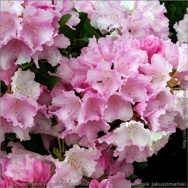 Rhododendron yakushimanum 'Silberwolke' - Różanecznik jakuszimański  'Silberwolke'