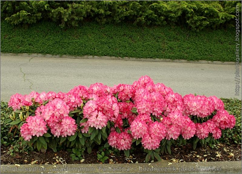 Rhododendron yakushimanum 'Fantastica' - Różanecznik jakuszimański 'Fantastica'