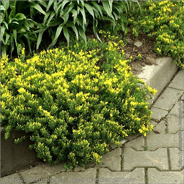 Cytisus decumbens - Szczodrzeniec płożący