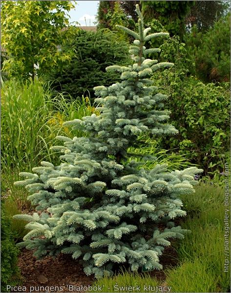 Picea pungens 'Białobok' - Świerk kłujący