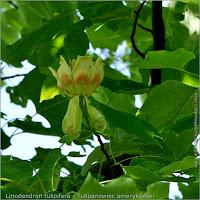 Liriodendron tulipifera flower - Tulipanowiec amerykański kwiat