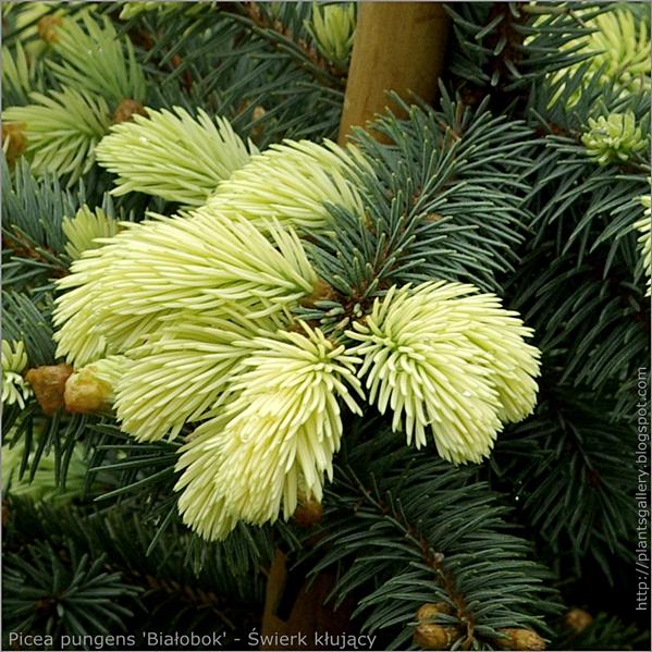Picea pungens 'Białobok' - Świerk kłujący młody przyrost