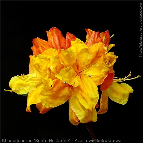 Rhododendron 'Sunte Nectarine' - Azalia wielkokwiatowa