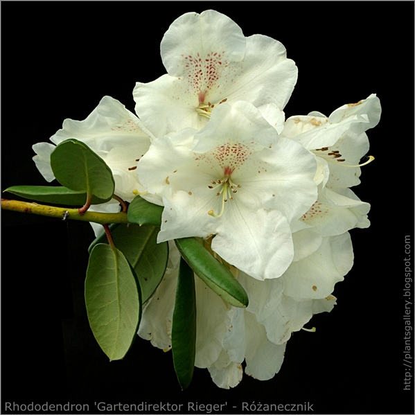 Rhododendron 'Gartendirektor Rieger' - Różanecznik