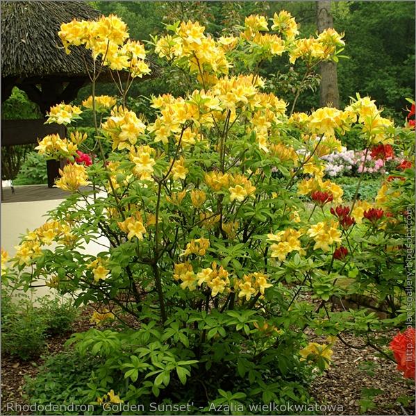 Rhododendron 'Golden Sunset' - Azalia wielkokwiatowa