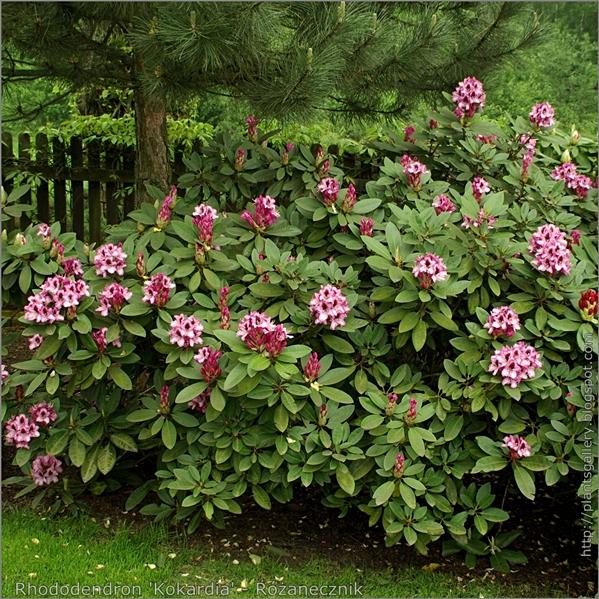 Rhododendron 'Kokardia' - Różanecznik
