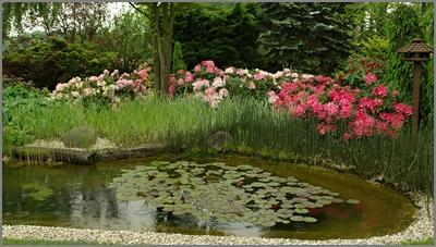 ogród, garden. oczko wodne, azalie