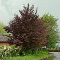 Fagus sylvatica 'Atropunicea' - Buk zwyczajny