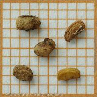 Aralia elata seed - Aralia japońska nasiona