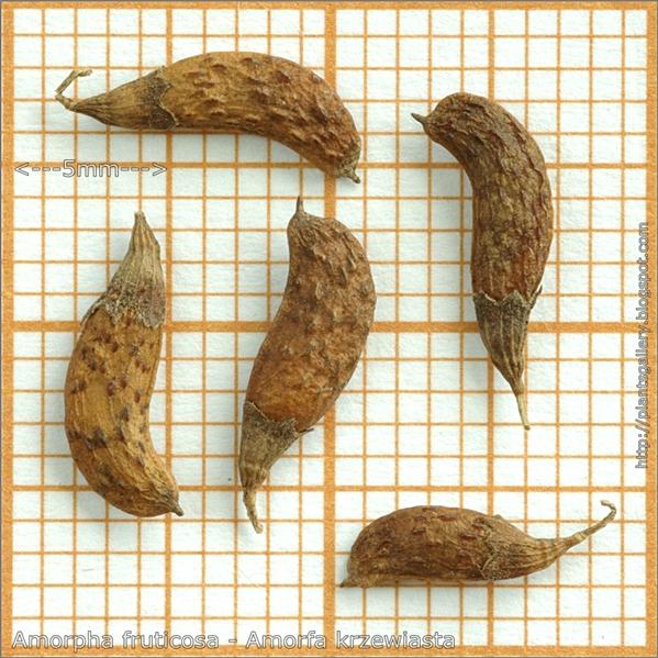 Amorpha fruticosa seed - Amorfa krzewiasta, Indygowiec zwyczajny nasiona