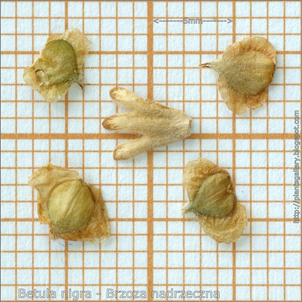 Betula nigra seed - Brzoza nadrzeczna nasiona