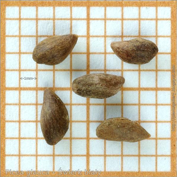 Picea glauca seeds - Świerk biały nasiona