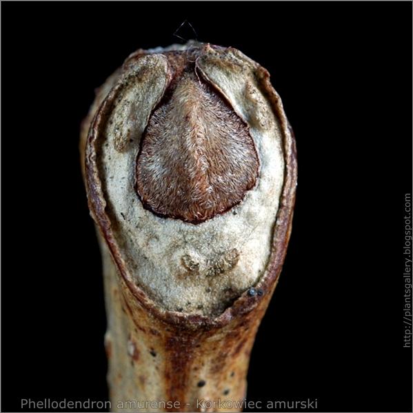 Phellodendron amurense bud - Korkowiec amurski pąk wierzchołkowy