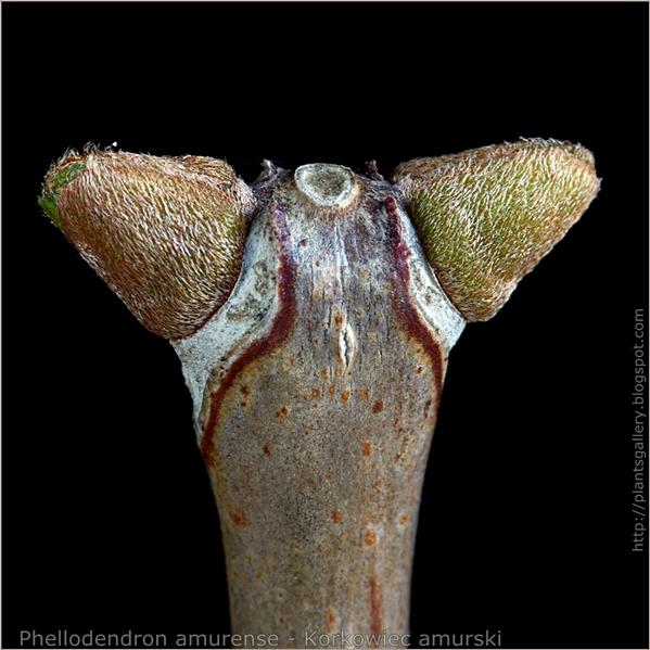 Phellodendron amurense bud - Korkowiec amurski pąki boczn
